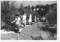 Trattore SAME durante la raccolta delle olive