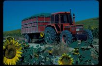 [SAME] trattore Tiger Six 105 al lavoro con rimorchio in campi di girasole e vigneti